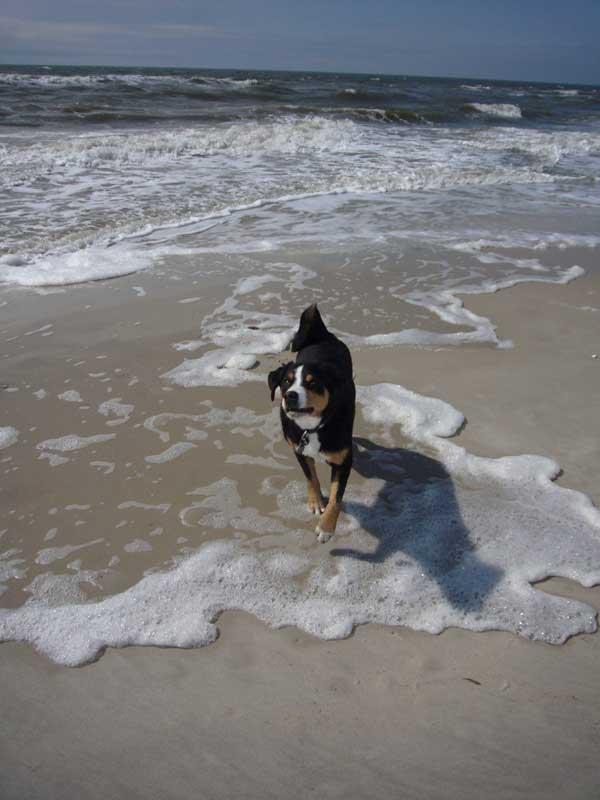 Appenzellersennenhunde am Meer