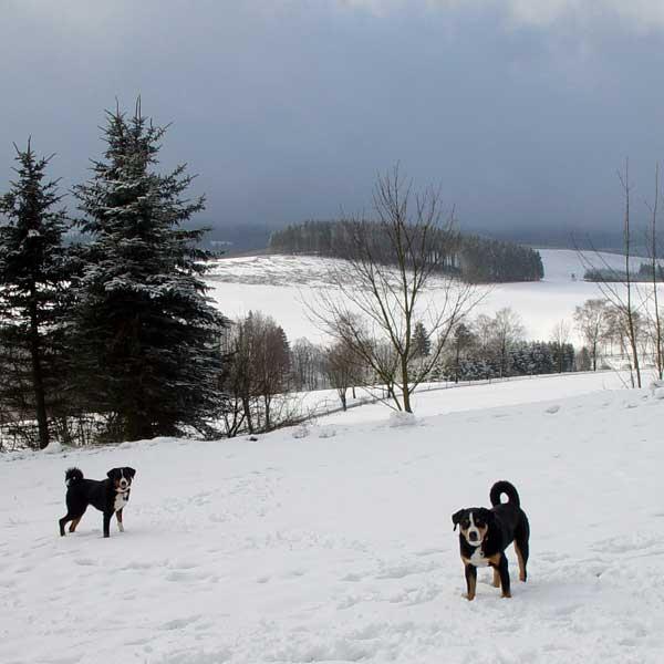 Appenzellersennenhunde im Schnee