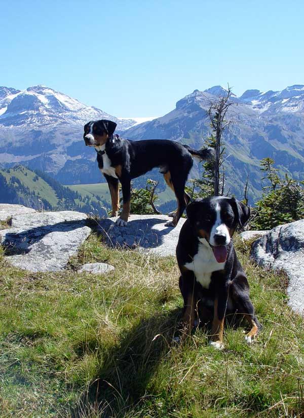 Appenzellersennenhunde in den Alpen