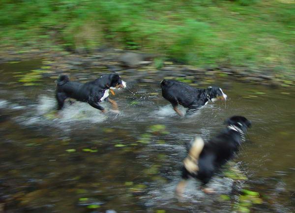 Spielende Sennenhunde