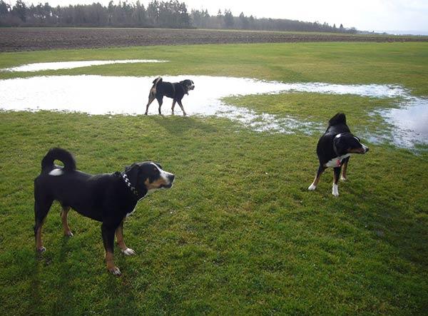 Appenzellersennenhunde beim Spiel auf der Wiese