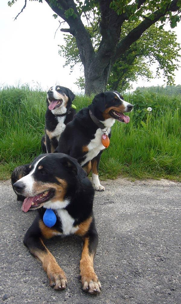 Foto drei Appenzellersennenhunde